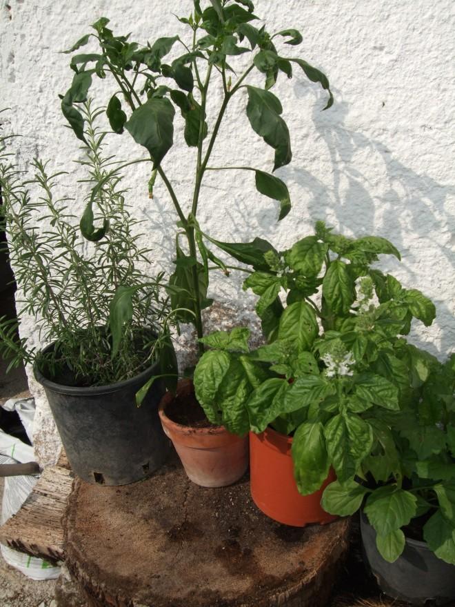 Come coltivare le spezie sul balcone menta peperoncini for Semina basilico in vaso
